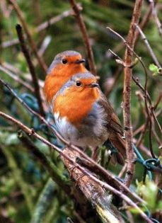 Two Robins in a Tree