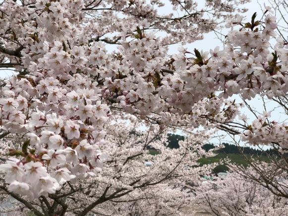 Sakura Blossoms!