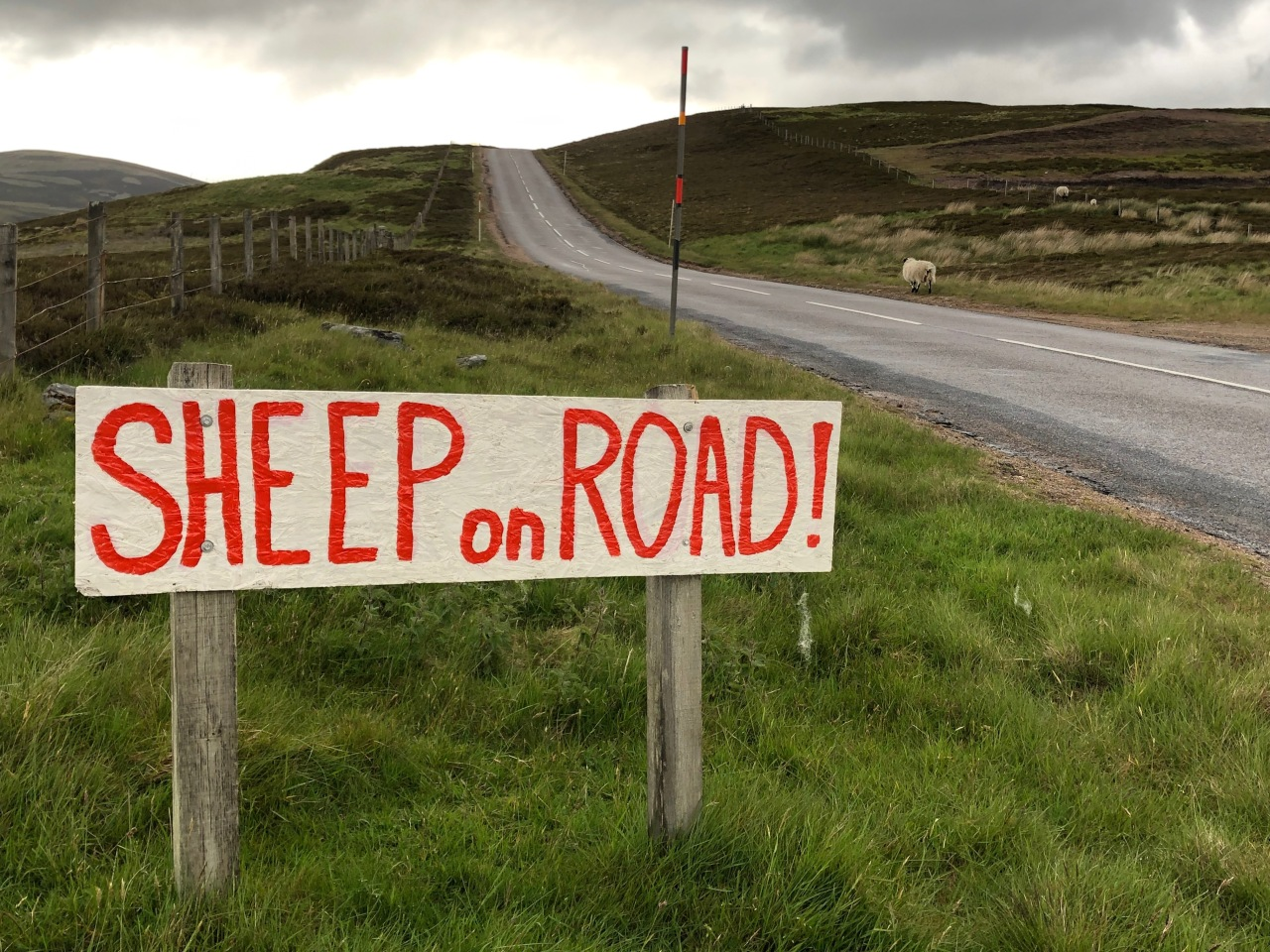 Sheep on Road!