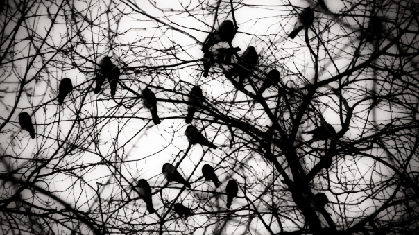 crows in trees